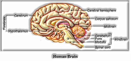 Neural Control and Coordination: Human Brain