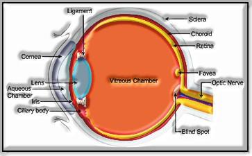 Neural Control and Coordination: Human Eye